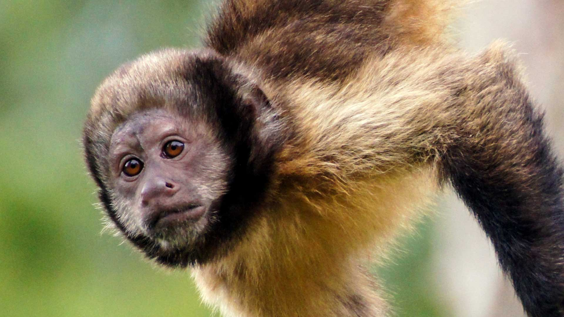 Capuchin Monkeys
